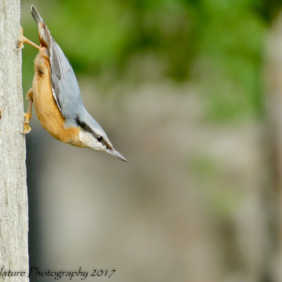 Streamlined - Common Nuthatch
