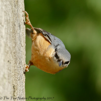 In Stealth Position - Common Nuthatch
