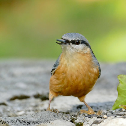Lookin' Bold - Common Nuthatch