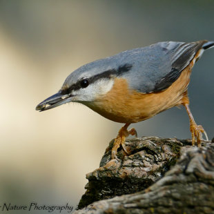 Pickin' Eagerly - Common Nuthatch