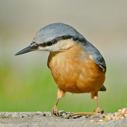 Brainstorming - Eurasian Nuthatch