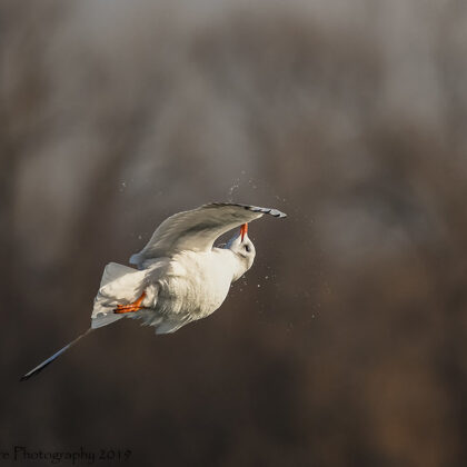 Black-headed Gull Acrobatics