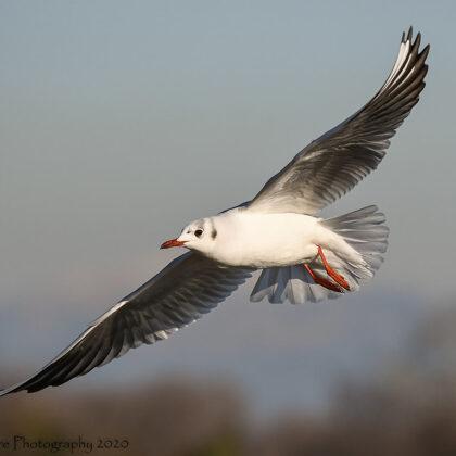 Black-headed Gull Looking For The Right Landing Spot
