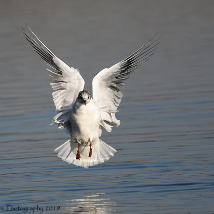 Black-headed Gull Just Landing On The Sea