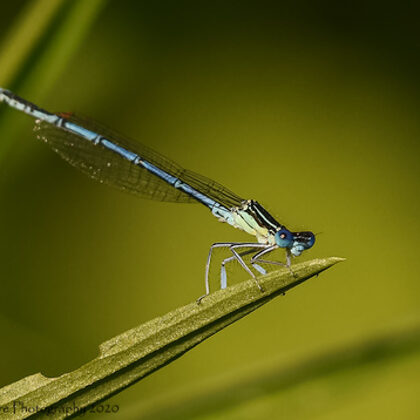 At The Tip - White-legged Damselfly
