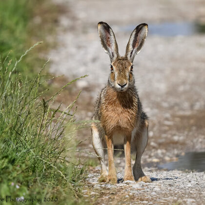 European Hare Sitting Surprised