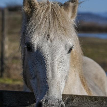 Camargue Horse Portrait 3