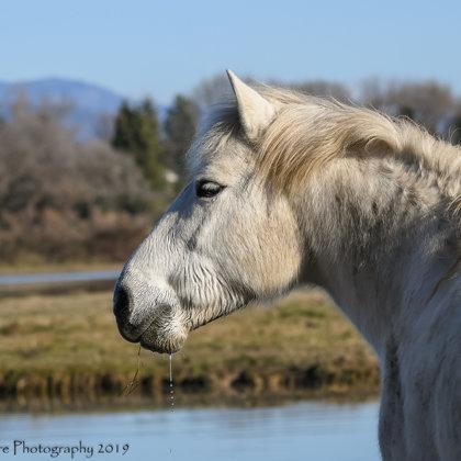 Camargue Horse Portrait 2