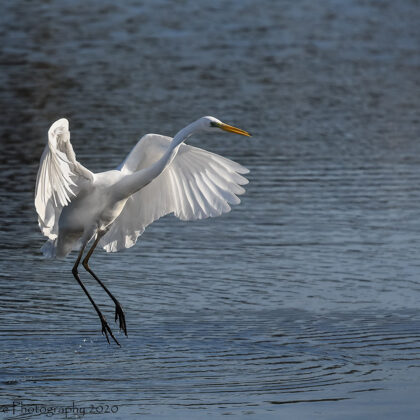 Great White Heron Doing A Hunt Jump