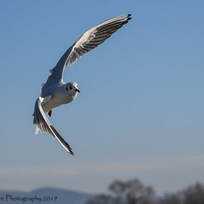 Black-headed Gull During A Stylish Turn