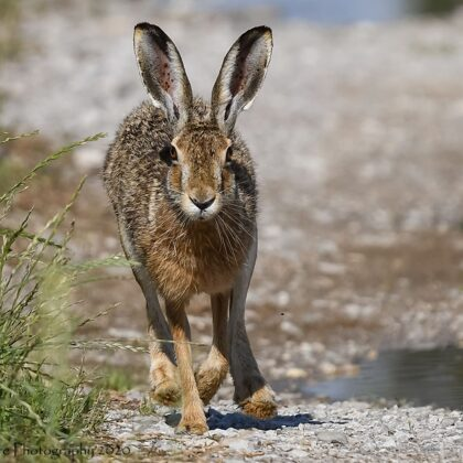 European Hare Running Toward Photographer
