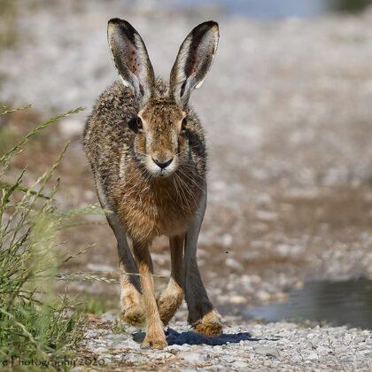 Mammals - European Hare