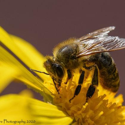 Western Honeybee Close-up 1