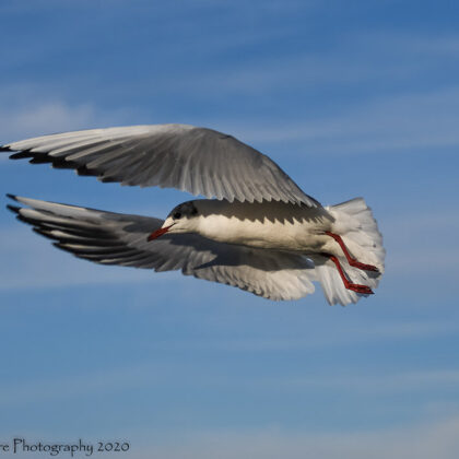 Wing Sweep - BH Gull