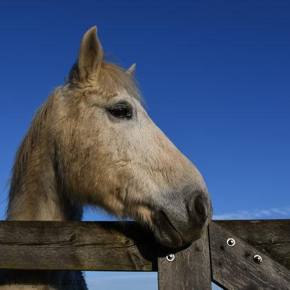 Camargue Horse Portrait 1