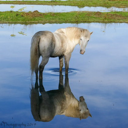 Camargue Horse And Water Reflection