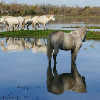 Camargue Horse Herd