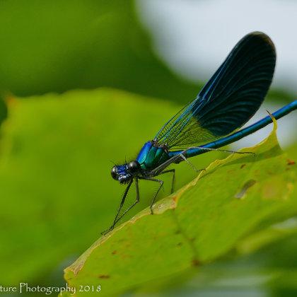 Damselflies, dragonflies, butterflies ...
