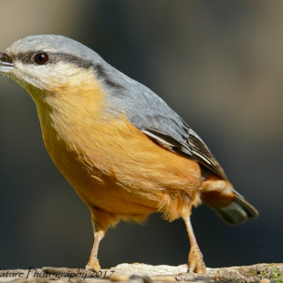 Charisma - Common Nuthatch