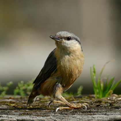 I'm scruffy, so what! - Common Nuthatch