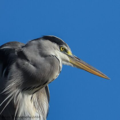 Grey Heron Stalking