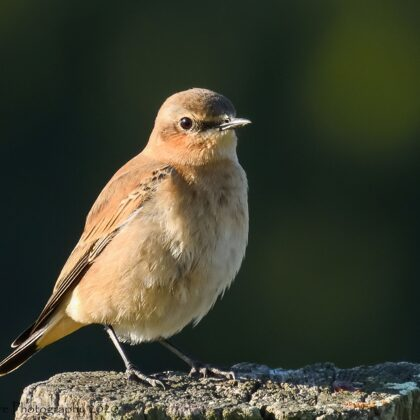 Northern Wheatear 1