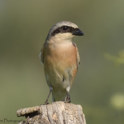 From One Lookout To Another - Red-backed Shrike