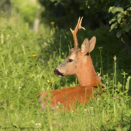 Dominant Roe Deer Waking In The Morning Sun