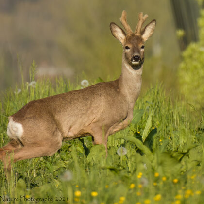 Young Roe Deer Buck Taking A Pose