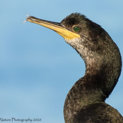 Common Shag Closeup