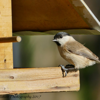 """Do you mind?"" - Marsh Tit (Poecile palustris)"