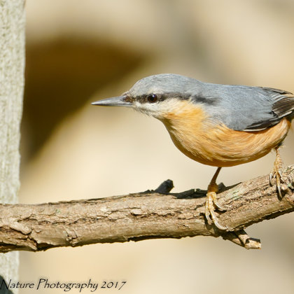 What a heck does this branch mean? . Common Nuthatch