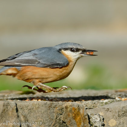Hovering Bird - Eurasian Nuthatch